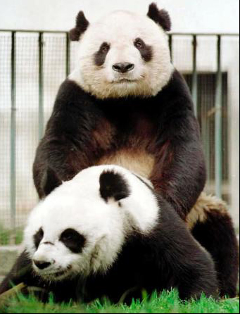 Panda Sexercise